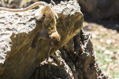 Der Affe springend vom Stein Lizenzfreies Stockbild