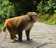 Der Affe starrt entlang Sie an Stockfoto