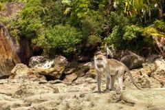 Der Affe steht auf den Felsen Stockfoto