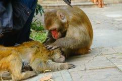 Der Affe steht, auf der Seite des Mannes still, der den Affen ausbildet Stockbilder