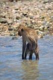 Der Affe steht im Wasser in einer lustigen Haltung Lizenzfreies Stockfoto