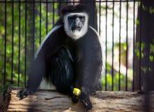 Der Affe, weißer übergebener Gibbon ist das Sitzen und spielt vor dem hintergrund des grünen Laubs Stockfotografie