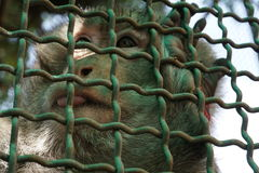 Der Affe wird in einem Käfig begrenzt lizenzfreies stockfoto