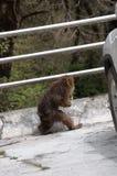 Der Affe, zum aufrecht zu gehen Lizenzfreie Stockbilder