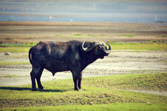 Der afrikanische Büffel. Ngorongoro, Tanzania. Stockfoto