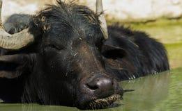Der afrikanische Büffel oder Kapbüffel Syncerus-caffer Stockfotos