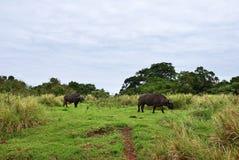 Der afrikanische Büffel, Tansania, Afrika Stockbilder
