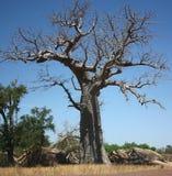 Der afrikanische Baobab Stockfotos