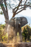 Der afrikanische Buschelefant (Loxodonta africana Stockfotos