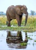 Der afrikanische Buschelefant (Loxodonta africana) auf der Bank des Sambesis Stockfoto