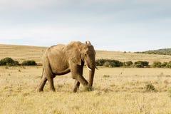 Der afrikanische Bush-Elefant, der gerade einen Spaziergang nimmt Lizenzfreies Stockfoto