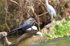 Der afrikanische Darter oder der Snakebird Stockfoto