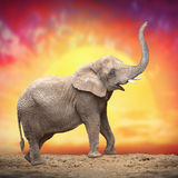 Der afrikanische Elefant Stockfotografie