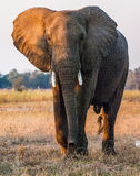 Der afrikanische Elefant Stockfoto