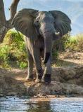 Der afrikanische Elefant Lizenzfreie Stockfotos