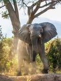 Der afrikanische Elefant Lizenzfreie Stockfotografie