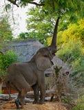Der afrikanische Elefant, der bis zu einem Baum mit Stamm erreicht, verlängerte das Versuchen, reife Mangofrucht zu erreichen Lizenzfreies Stockfoto