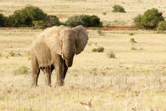 Der afrikanische Elefant, der auf dem Gebiet steht und isst Lizenzfreie Stockfotos