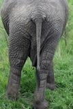 Der afrikanische Elefant ist das Endstück zur Kamera Lizenzfreies Stockbild