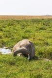 Der afrikanische Elefant wird von der Hitze gespeichert Amboseli, Kenia Lizenzfreies Stockbild