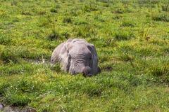 Der afrikanische Elefant wird von der Hitze im Sumpf gespeichert Amboseli, Kenia Lizenzfreies Stockbild