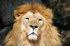 Der afrikanische Löwekönig der Tiere Stockbild