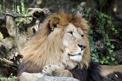 Der afrikanische Löwekönig der Tiere Stockbilder