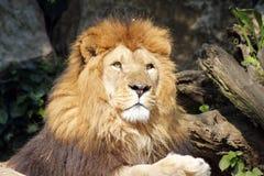 Der afrikanische Löwekönig der Tiere Lizenzfreie Stockbilder