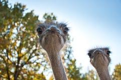 Der afrikanische Ostrichs-Struthio Camelus Stockfotos