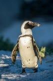 Der afrikanische Pinguin Lizenzfreie Stockfotos