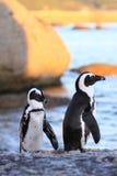 Der afrikanische Pinguin Stockfotos