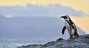 Der afrikanische Pinguin in der Abenddämmerung mit Sonnenunterganghimmel Stockfotografie