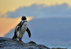 Der afrikanische Pinguin in der Abenddämmerung mit Sonnenunterganghimmel Lizenzfreie Stockbilder
