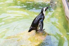 Der afrikanische Pinguin, alias der Eselpinguin und das Schwarze Lizenzfreie Stockbilder