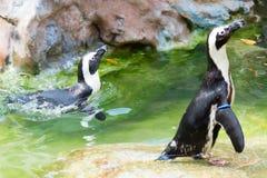 Der afrikanische Pinguin, alias der Eselpinguin und das Schwarze Lizenzfreies Stockfoto