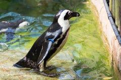 Der afrikanische Pinguin, alias der Eselpinguin und das Schwarze Stockbilder