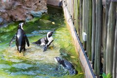 Der afrikanische Pinguin, alias der Eselpinguin und das Schwarze Lizenzfreie Stockfotos