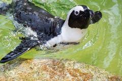 Der afrikanische Pinguin, alias der Eselpinguin und das Schwarze Lizenzfreie Stockfotografie