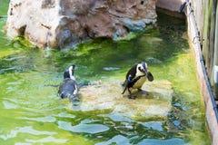 Der afrikanische Pinguin, alias der Eselpinguin und das Schwarze Stockbild