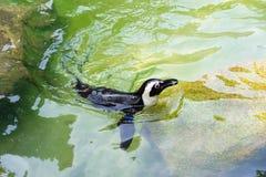 Der afrikanische Pinguin, alias der Eselpinguin und das Schwarze Stockfotografie