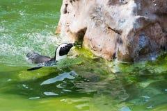 Der afrikanische Pinguin, alias der Eselpinguin und das Schwarze Lizenzfreies Stockbild