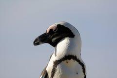 Der afrikanische Pinguin Flugunfähiger Vogel von Südafrika Lizenzfreies Stockbild