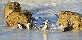 Der afrikanische Pinguin (Spheniscus demersus) Stockbilder