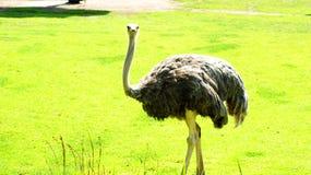 Der afrikanische Strauß Stockfotos