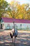 Der afrikanische Strauß am Bauernhof Stockfotos