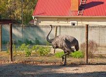 Der afrikanische Strauß am Bauernhof Stockbilder