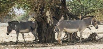 Somalischer wilder Esel im israelischen Naturreservat Lizenzfreie Stockfotos