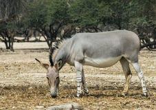 Afrikanischer wilder Esel im israelischen Naturreservat Lizenzfreies Stockbild