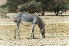 Afrikanischer wilder Esel im israelischen Naturreservat Lizenzfreies Stockfoto