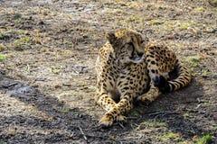 Der afrikanische Zoo des Gepards im Frühjahr steht auf dem ersten grünen Gras still Stockbild